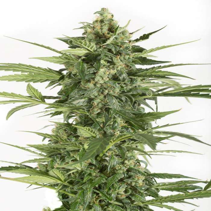 Blue Cheese Autoflower Seeds